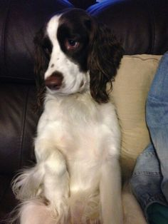 Aww , I love English Springer Spaniels