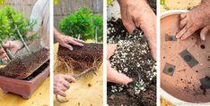 Rempotage d'un bonsaï #bonsaï #plante #végétal