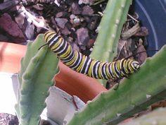 Monarch caterpillar. I used to raise them.