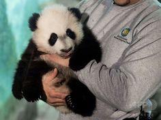 赤ちゃんパンダ「ベイベイ」、報道陣に初公開 米