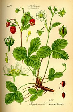 Vintage Ephemera: Botanical plate, Woodland Strawberry - 1885