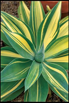 A. attenuata 'Variegata' | Use these versatile plants for drama in pots and sunny gardens