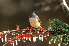 Tufted titmous, Parus bicolor, perched on a branch of icy holly berries in winter