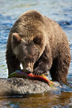 Bear with salmon catch Animals And Pets, Cute Animals, Wild Animals, The Bear Family, Power Animal, Bear Pictures, English Bull Terriers, Love Bear, Tier Fotos