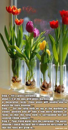 Growing Tulips Indoor.