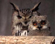 Eulen und Uhus auf der Adlerarena Landskron bei Villach in Kärnten. Für Besuchergruppen bis max. 30 Personen bieten wir, vor den regulären Flugvorführungen, exklusive Spezialführungen durch unseren Greifvogel- und Eulenpark an. Dabei erfährt man interessante und spannende Geschichten über unsere gefiederten Akteure sowie Informationen über die Entstehungsgeschichte der Adler Arena, über die verschiedenen Zucht- und Forschungsprojekte, über die Mitwirkung bei Dokumentationen und… Owl, Bird, Animals, Horned Owl, Research Projects, Kestrel, Drawing Owls, Animales, Animaux