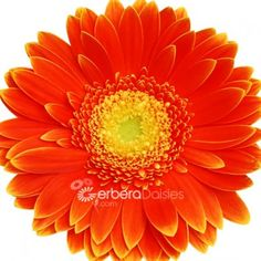 Dark Orange and Yellow Centers are a great choice for fall weddings!