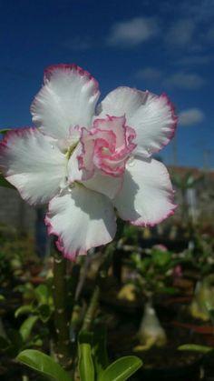 Aprenda a cuidar de rosas do deserto clique neste pin e confira Exotic Flowers, Beautiful Flowers, Dessert Rose Plant, My Flower, Flower Power, Amaryllis Bulbs, Baobab Tree, Colorful Plants, Desert Rose