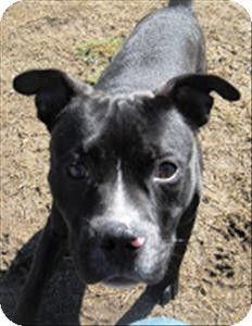 Richmond, VA - Pit Bull Terrier Mix. Meet Two Bit Matthews a Dog for Adoption.