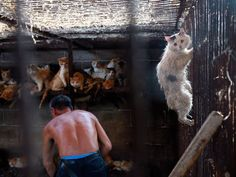 Yang Xiaoyun, rescues dogs in china. This is a cat's desperate attempt to escape being slaughtered for the Yulin Festival in China which commenced on 21 June 2016 lasting 10 days. Cat Skin, Chinese Dog, Stop Animal Cruelty, Dog Eating, Animal Welfare, Animal Rights, Big Dogs, Humane Society, Stuffed Animals