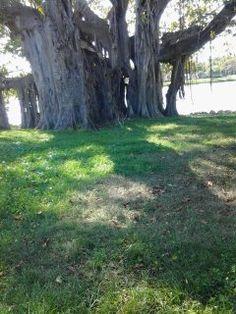 Banyan Tree at Crescent Lake Park,St Petersburg,FL