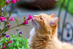 Существует поверье, что рыжие коты обладают даром целительства. Если рыжик взялся опекать заболевшего человека, то это явный признак того, что он скоро пойдет на поправку