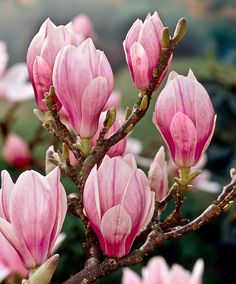 Magnolia Tree | Trees and Shrubs from Bakker Spalding Garden Company