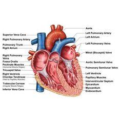 Gross Anatomy Of The Human Heart . Gross Anatomy Of The Human Heart Gross Anatomy Of The Human Heart New Cardiovascular System Anatomy Gross Anatomy, Human Body Anatomy, Human Anatomy And Physiology, Muscle Anatomy, Cardiac Anatomy, Medical Anatomy, Cardiac Muscle Cell, Heart Diagram, Heart Anatomy