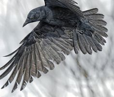 "Glorious Shot of Raven....WOW!!! ""Surveying the Damage"" by James Two Crows"