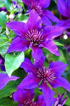 Clematis 'Boulevard Fleuri' blooms a very long time