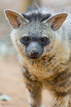 """This is """"Archie"""".  He is an Aardwolf (one of the four species of hyenas) living in Lion Park.   ------   (by Tambako the Jaguar)"""