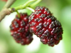 7 Unique Summer Berries to Grow on Your Own (mulberry, goji, honeyberry, ... )