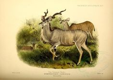 Greater Kudu - high resolution image from old book.Size in pixels: Victorian Fabric, Collage Illustration, Illustrations, Fabric Pictures, Commercial Art, Animal Decor, Vintage Ornaments, Wildlife Art, Vintage Books