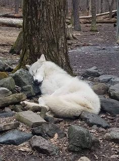 Wolf rests a bit before The Hunt🐺🌲🍃 Wolf Love, Beautiful Creatures, Animals Beautiful, Baby Animals, Animals And Pets, Wolf Pictures, Animal Pictures, My Spirit Animal, My Animal