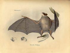 Toutes les tailles   Zoology of the Voyage of H.M.S. Beagle, 1839–43, vol. 1, Mammalia   Flickr: partage de photos!