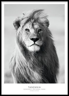 A beautiful black and white photo poster of a majestic lion. The lion's mane makes it look extremely powerful and impressive. However, all this is for show, as the lionesses do all the hunting. If necessary the lion will show his strength in a Poster Shop, Foto Poster, Nature Posters, Love Posters, Art Posters, Photo Pop Art, Wall Art Prints