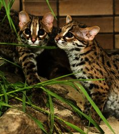 Double trouble! This precious duo of Palawan Bengal cats living in Zoo Berlin are dangerously cute!