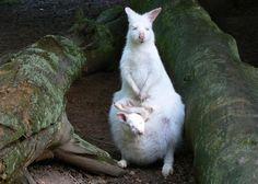 Zlínská zoo má raritu, albínovi klokana se narodilo bílé mládě ...