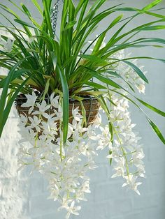 Cymbidium Sarah Jean or 'Ice Cascade' This hearty plant dispels the idea that orchids are only for skilled gardeners. The cascading white flowers will generally bloom from December to February and will look best in a hanging pot. Happiest with 10 to 15 hours of light each day and a drop in night temperature. Keep the soil most but not wet, reduce watering in the wintertime, and mist the leaves occasionally.