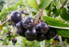 """""""Useful tips for aronia berries...native to the United States, looks beautiful, and is easy to grow....berries are rich black-purple in color with a fine white down...I easily harvested 8 quarts of plump berries from four bushes in two days, and there are plenty left. The foliage also turns red in the fall....""""  """"every time I eat plain aronia, I am reminded, """"This is health food.""""...Adding other, complementary flavors...like spices and herbs, will take your aronia from edible to…"""