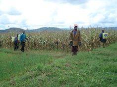 "The authoritarian face of the ""Green Revolution"": Rwanda capitulates to agribusiness"