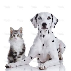 Dalmatian dog and Norwegian forest cat stock photo 22963986 - iStock