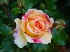 rare rose wallpaper | Rare rose - flower, garden, rose, colors