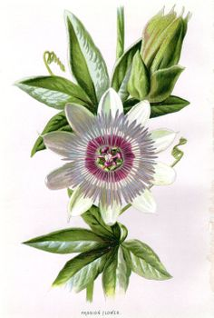 1887 Antique Botanical Print Passion Flower by AntiquePrintGallery