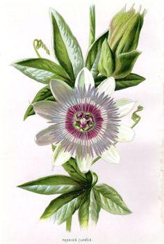 1887 Antique Botanical Print Passion Flower