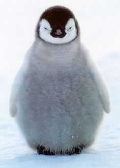 fluffy baby penguin:))