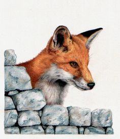 Coloured pencil drawing of a fox Curiosity by GillianMcMurray, via Etsy.