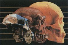 Evolucion hominidos cerebro