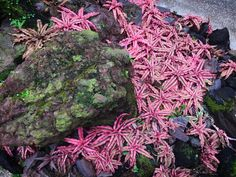 Cryptanthus 'Pink Starlight' out of control!