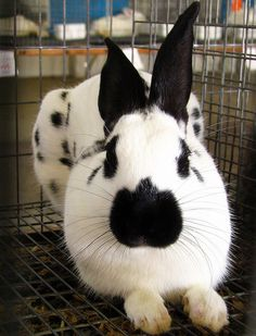 ~ English Spot Rabbit ~
