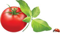 """Photo from album """"фрукты, овощи"""" on Yandex. Cherry Tomato Plant, Red Tomato, Photoshop World, Free Photoshop, Plant Painting, Plant Drawing, Staking Tomato Plants, Types Of Tomatoes, Plant Supports"""