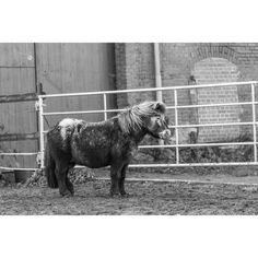 Minishetty · Shetty · Shetland Pony · Mini Appaloosa · Schecke · Pferdefotografie · Pferdefotograf · Horse Photography · Horse Photoshoot · Equine Photography · Equestrian Photography · Equine Photoshoot · Pferdefotos · Pferdeportrait · Pferdeshooting · Horse Pictures · Horse Portrait · Horse Shooting · Schwarz Weiß Fotografie · Black White Photography Equine Photography, Animal Photography, White Photography, Appaloosa, Horse Portrait, Horse Pictures, Animal Drawings, Equestrian, Pony