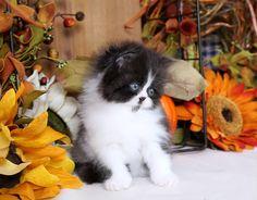 Rupert, a Cute Fluffy Black and White Little Baby Persian Kitten