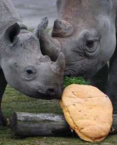 Black Rhino Officially extinct. RIP to those beautiful creatures.