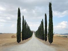 \\ cypress allée in Tuscany Purple Home, Cypress Trees, Wanderlust Travel, Pathways, Italy Travel, Countryside, Beautiful Places, Lovely Things, Places To Go