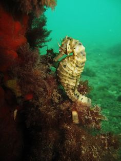 Spot a seahorse on a dive.  I looked in Bonaire.  Hunt continues.  Seahorse by Peter.Thurgood, via Flickr