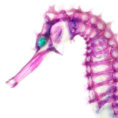 怪しくもあるが美しもある生物の標本を紹介しよう。生き物を骨を染めて、さらに脱色させることにより怪しくも美しい透明骨格標本が完成するのだ。