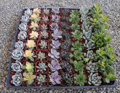 "2"" Wedding Succulents bulk wholesale wedding Favor gifts at the succulent source - 8"