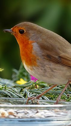 Robin, songbird, cute, 720x1280 wallpaper