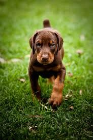 Doberman puppy. Can't wait to get one!